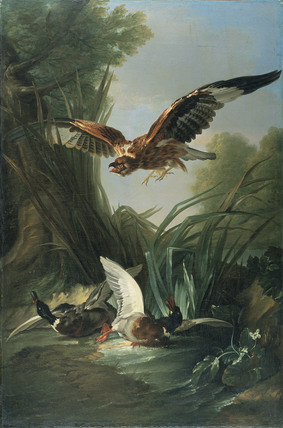 Hawk attacking Wild Duck