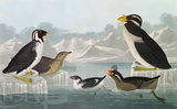 Black-throated Guillemot; Nobbed-billed Auk; Curled-Crested Auk; Horned-billed Guillemot