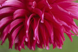 A close up of the Dahlia 'Orfeo' in the Dahlia Walk at Cragside