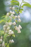 Close shot of Halesia Monticola Vestita (Western form of Mountain Snowdrop) in the South Garden at Emmetts Garden
