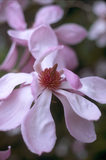 Close view of flowers of Magnolia sprengeri diva, planted in 1958,in one of the walled gardens at Trengwainton