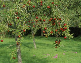 A corner of the apple orchard at Acorn Bank, the trees laden with bright red fruit