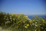 Wild flowers growing in the summer along the coastal path