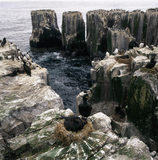 A shag sitting on its nest on the Farne Islands