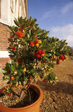 An Arbutus (Strawberry Tree) in a terracotta container at Ham House