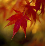 Close-up of Maple leaves (Acer sp.) in red Autumn colour