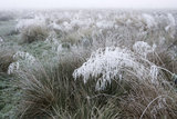 Grasses on the banks of the River Wey Navigations, Send, Surrey weighed down with frost on a November morning