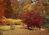 The deep red autumn foliage of an Acer palmatum at Sheffield Park