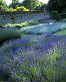 The Lavender Garden at Polesden Lacey, showing at least five beds of various types of Lavender