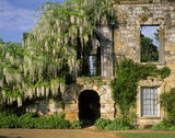 A White Wisteria tumbles over a ruined part of Scotney Castle
