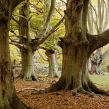 Close-up of the large tree trunks at Frithsden Beeches on the Ashridge Estate, with autumnal leaves scattered on the ground