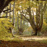 View of Frithoden Beeches in woodland on the Ashridge Estate, taken in late autumn sunlight