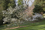 Magnolia in flower at Trelissick Garden, near Truro, Cornwall