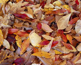 Autumnal leaves in Sheffield Park, East Sussex