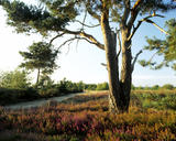 Looking across Frensham Common in Surrey with a tree prominent in the foreground and heather growing around it's roots