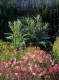 A close view of Alstroemeria and Artichokes in the East Walled Garden at Llanerchaeron