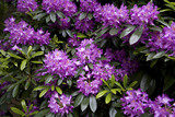 Rhododendron ponticum in June, in the Wild Garden at Sheringham Park, Norfolk