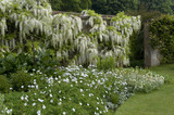 "Wisteria floribunda ""Alba""  in early summer in the White Garden at Barrington Court, Somerset"