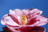 "Close-up view of camellia ""Leonard Messel"" against a background of blue sky taken in February at Nyman's Garden, West Sussex"