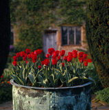 Red tulips growing in a huge copper tub at Sissinghurst
