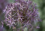 Close-up of Allium christophii (syn. A. albopilosum)