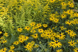 """Rudbeckia and Solidago """"Goldenmosa"""" (golden rod) in the border at the front of the house at Cliveden, Maidenhead, Buckinghamshire"""