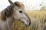 Konik pony at Wicken Fen, Cambridgeshire