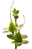 Foxglove (Digitalis purpurea) seed heads