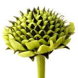 Cephalaria gigantea bud seed head