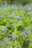 Close view of Forget-me-not (Myosotis) in the border at Hidcote Manor Garden, Gloucestershire