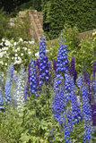 Delphiniums in the Walled Garden at Polesden Lacey, Surrey in June