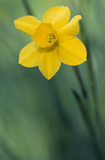 Close-up detail of single Daffodil (Narcissus) flowering at springtime in the gardens of Hinton Ampner