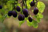 Close view of a tree laden with ripening damsons at Hill House Farm on the Brockhampton Estate