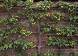 Horizontal view of green apples in Westbury Court Garden