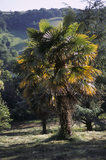 Full view of a palm tree (Trachycarpus) in the garden at Greenway, on a beautiful and sunny day