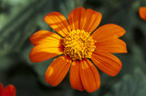 A close-up of a Tithonia - 'Speciosa torch' from Sissinghurst Castle Garden