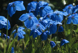 Close up of some 'meconopsis betonicifabia', blue poppies