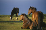Three ponies on the Golden Cap Estate, one at rest, one sitting down and one grazing