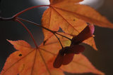 A seed head & spiky leaves of Acer palmatum in autumn colours