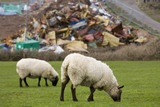 Sheep graze peacefully above the aftermath of the MSC Napoli shedding its cargo, now washed up on the beach at Branscombe, Devon