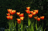 "Tulipa ""Ballerina"" in the Lime Walk at Sissinghurst Castle Garden, Kent, in May"
