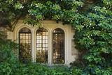Hydrangea petiolaris clmbing over the stone walls and around the three transomed lights of a window at the fifteenth-century Great Chalfield Manor, Wiltshire