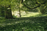 "Wild garlic (Ramsons) growing in the garden in the area called ""Paradise"" at Tyntesfield, North Somerset"
