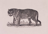 Engraving, THE TIGER, by Thomas Bewick, 1753-1828, one of a series of large cuts, 1799-1800, made for Gilbert Pidcock, proprietor of a travelling menagerie