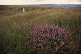 A large clump of purple heather on Buckstones Moss makes the foreground of this scene with walkers on this bleak, open moorland in the northern area of the Marsden Moor Estate