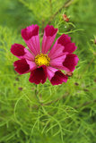 Close-up of a Cosmos