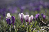 Close view of a group of purple and white winter flowering crocus, in Nymans Gardens