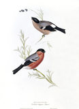 BIRDS OF EUROPE - BULLFINCH (Pyrrhula vulgaris) by John Gould, London 1837, from the Library at Blickling Hall