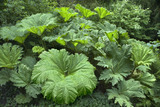 The giant leaves of Gunnera manicata at Dunham Massey, Cheshire