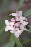 Close-up of Daphne bholua, 'Jaqueline Postill', a pale pink Spring variety of this shrub